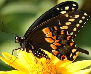 butterfly, swallowtail, release